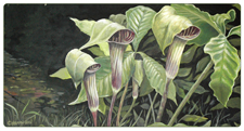 "Flower Paintings, Flora Paintings, Plants & Herbs ""Jack n the Pulpit"" by Gina Harman"