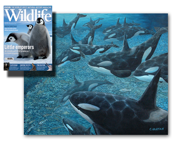 BBC Wildlife Magazine - Whale Art, Orcas and Salmon by Chris Harman