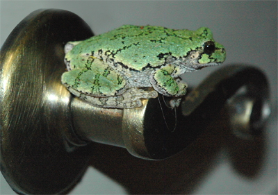 Michigan Gray Tree Frog Knocking at Our Door