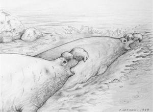 Children's Book Illustrations - Mouranga (Elephant Seal)