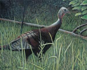 Spring Wild Turkey