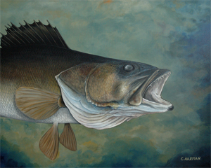"""Looking Up"" Walleye"