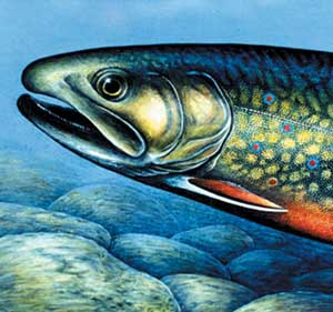 Brook Trout Profile