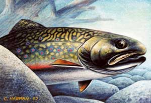 Brook Trout (Untitled)